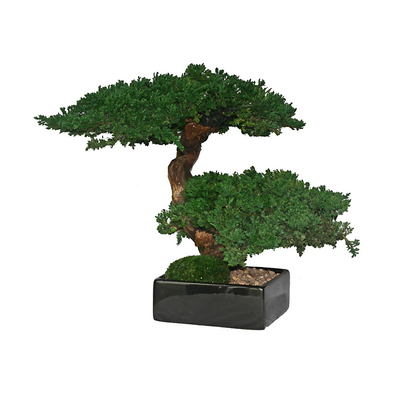 Preserved Double Monterey Bonsai