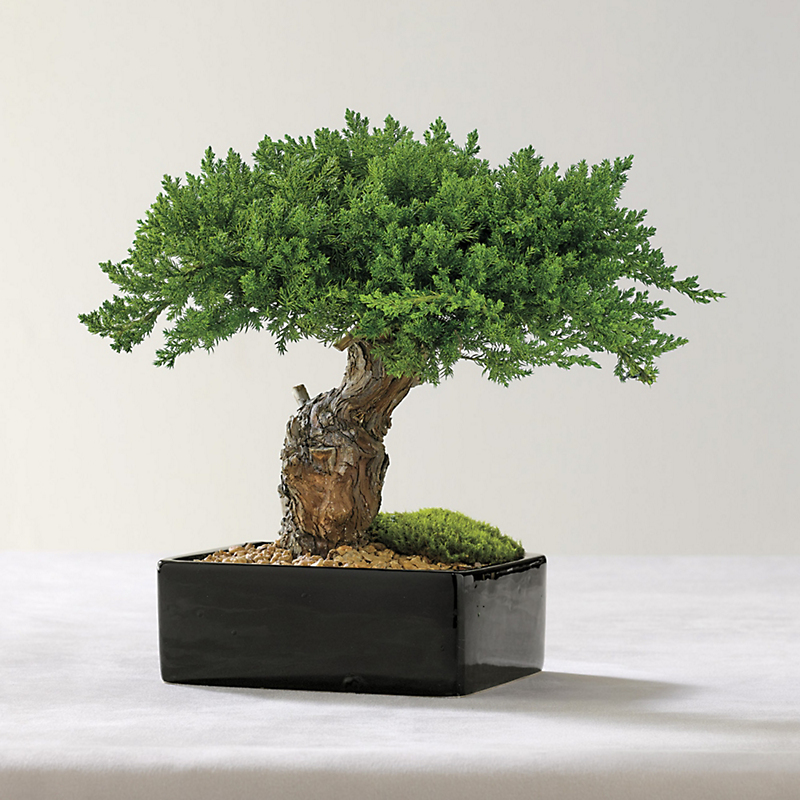 Preserved Monterey Bonsai