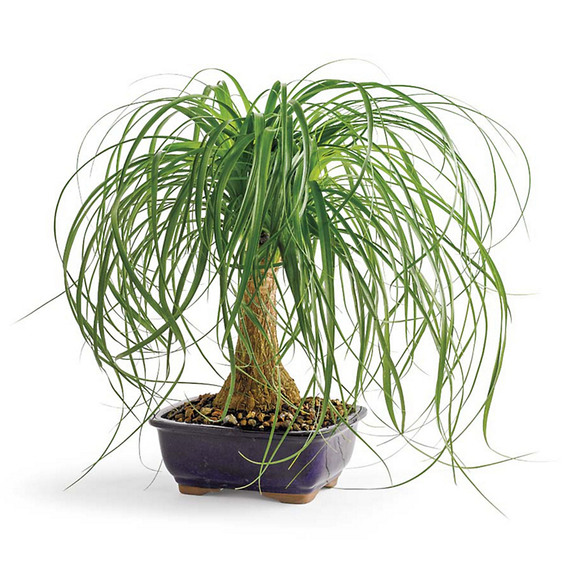 Living Ponytail Palm
