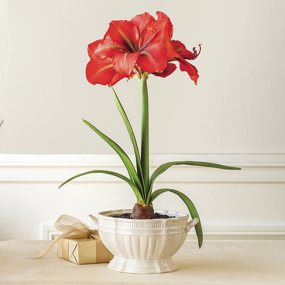 Holiday amaryllis in pot gump 39 s for Pot amaryllis