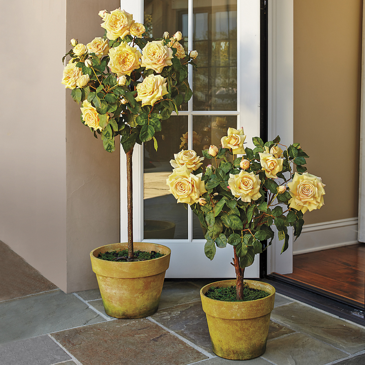 Grand Yellow Rose Bushes