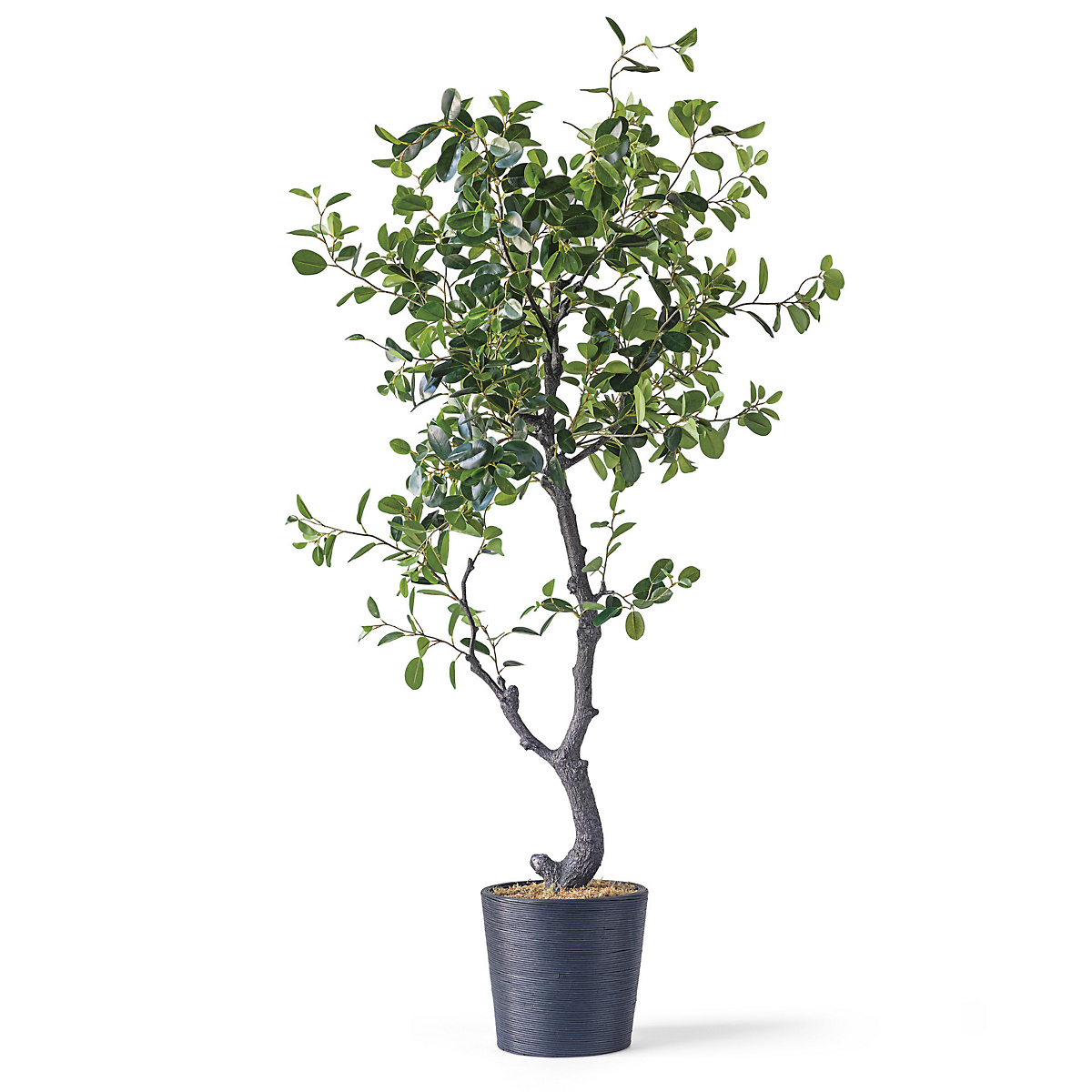 Grand Ficus Tree