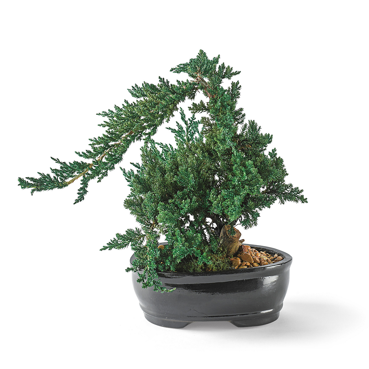 Preserved Juniper Bonsai