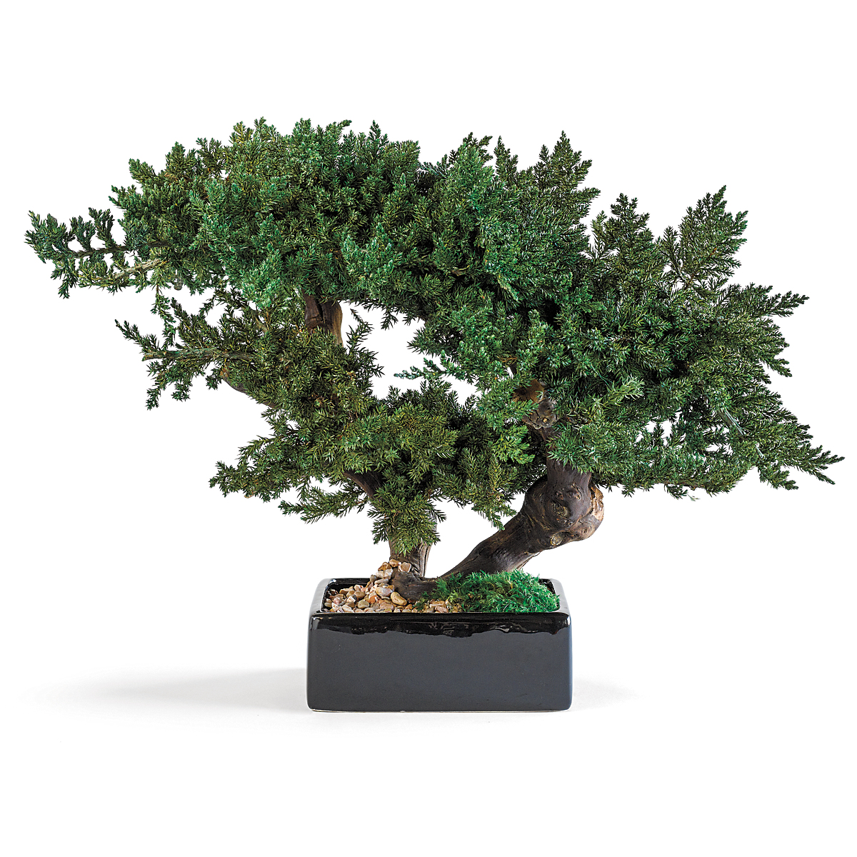 Preserved Monterey Juniper Bonsai