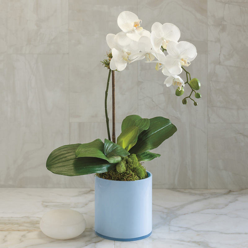 Winter White Phalaenopsis