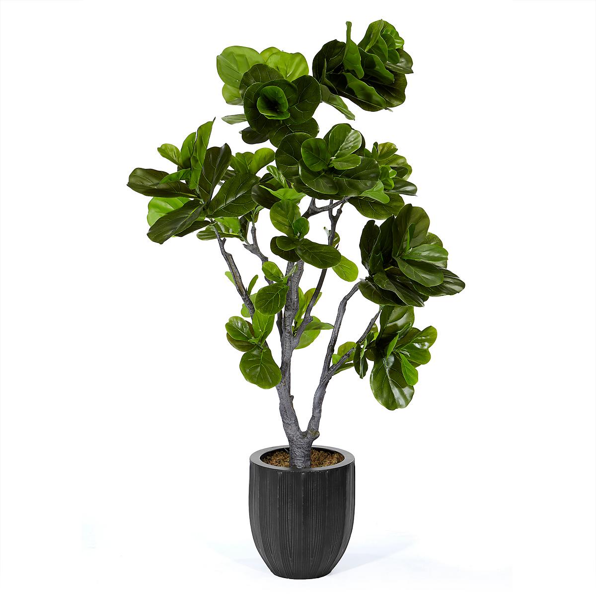 fiddleleaf fig tree