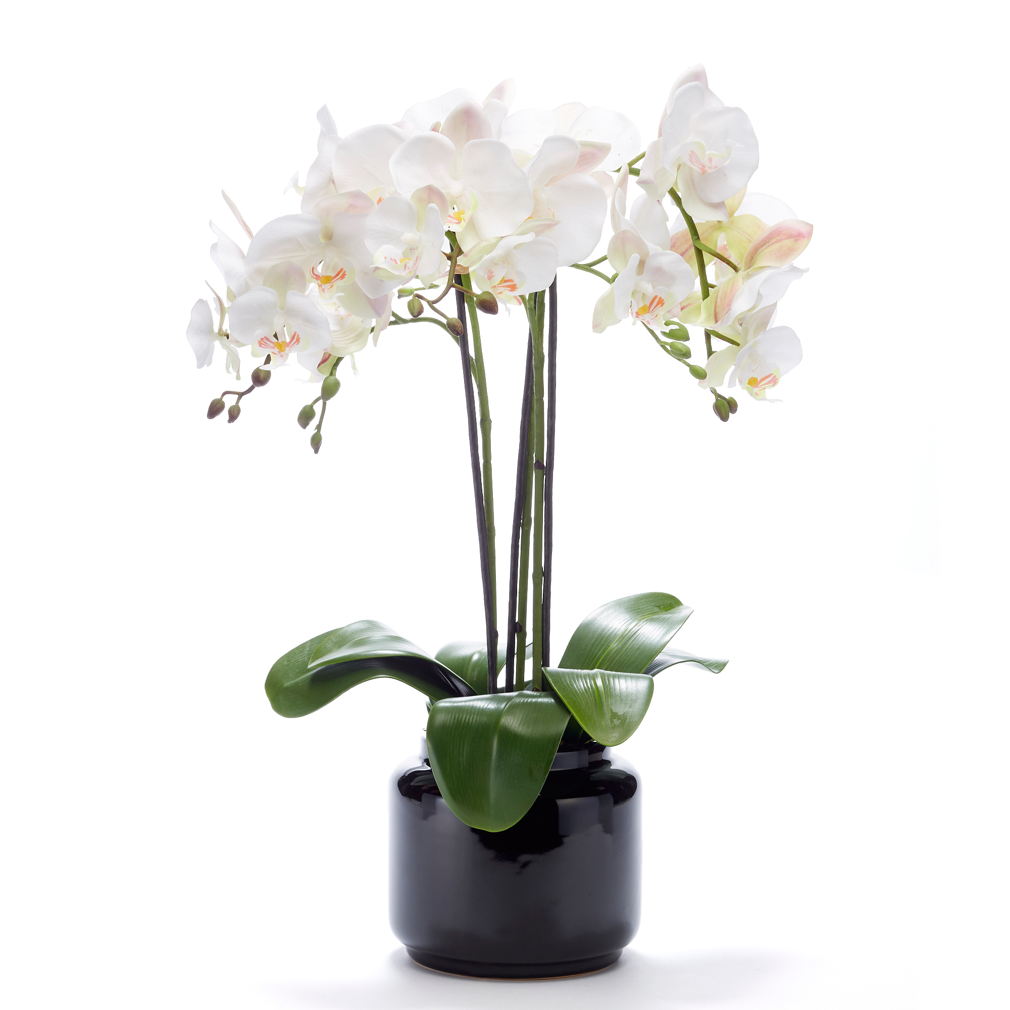 White Phalaenopsis Orchid In Black Pot
