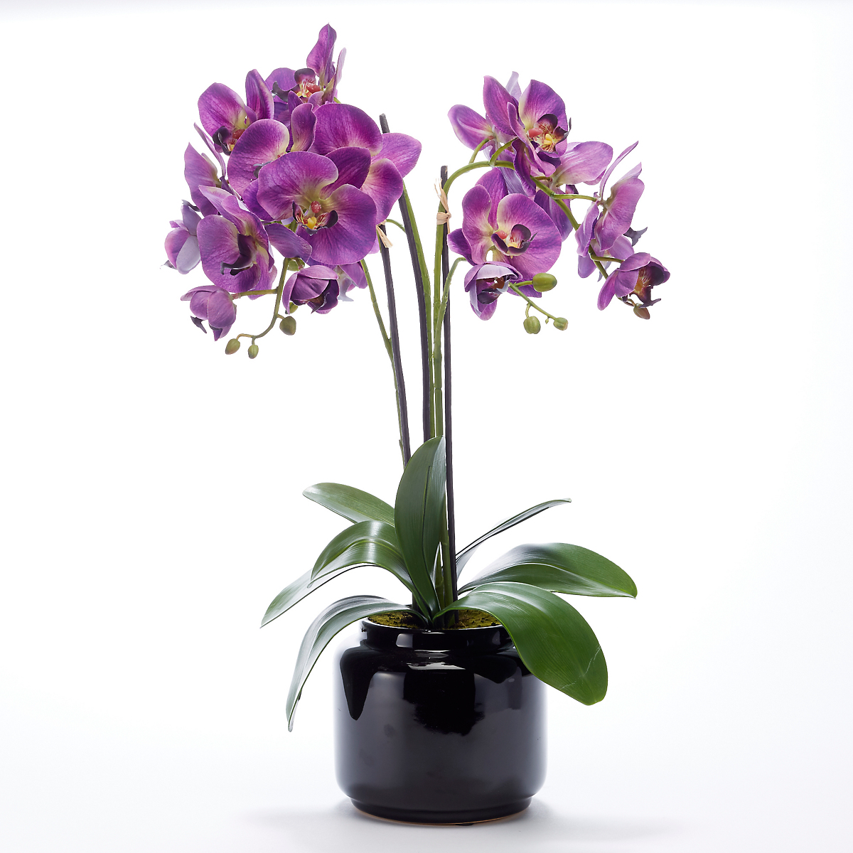 Purple Phalaenopsis Orchid In Black Pot