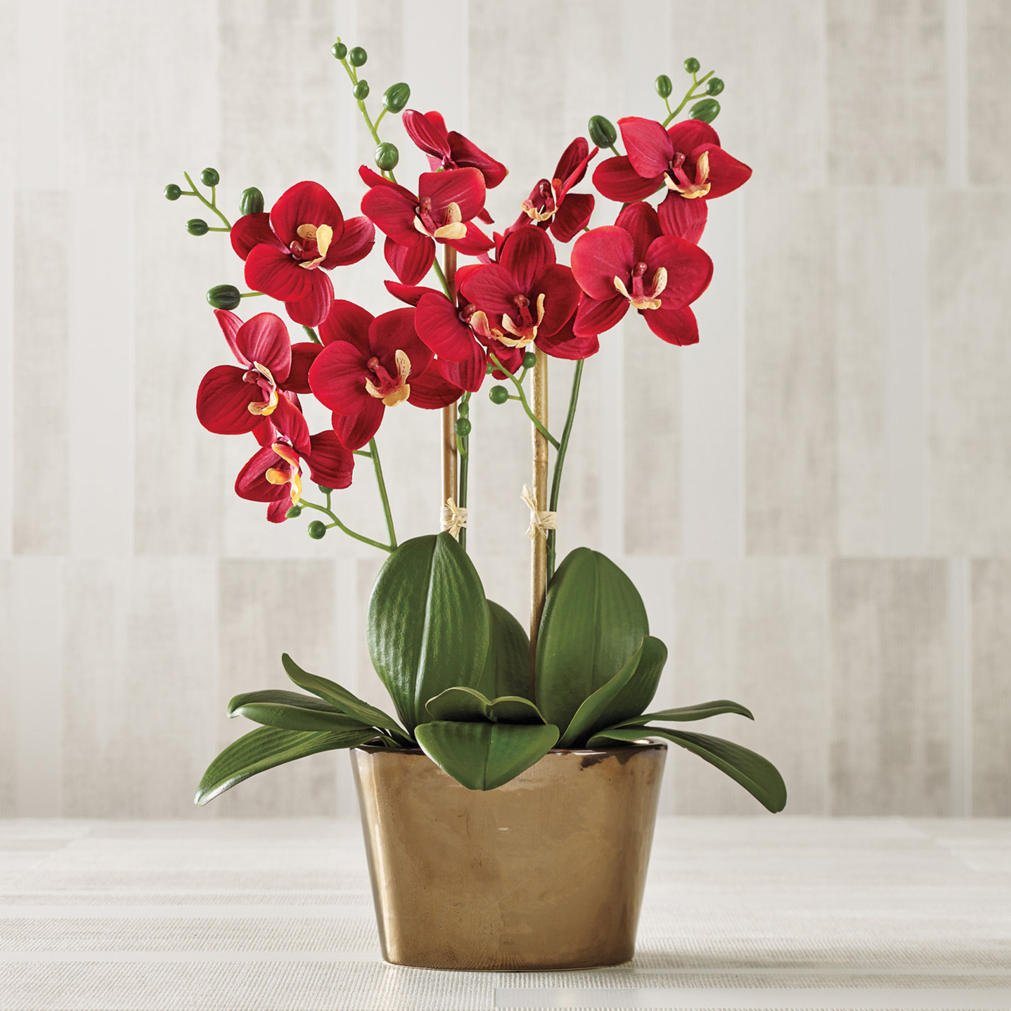 Red Phalaenopsis Orchid