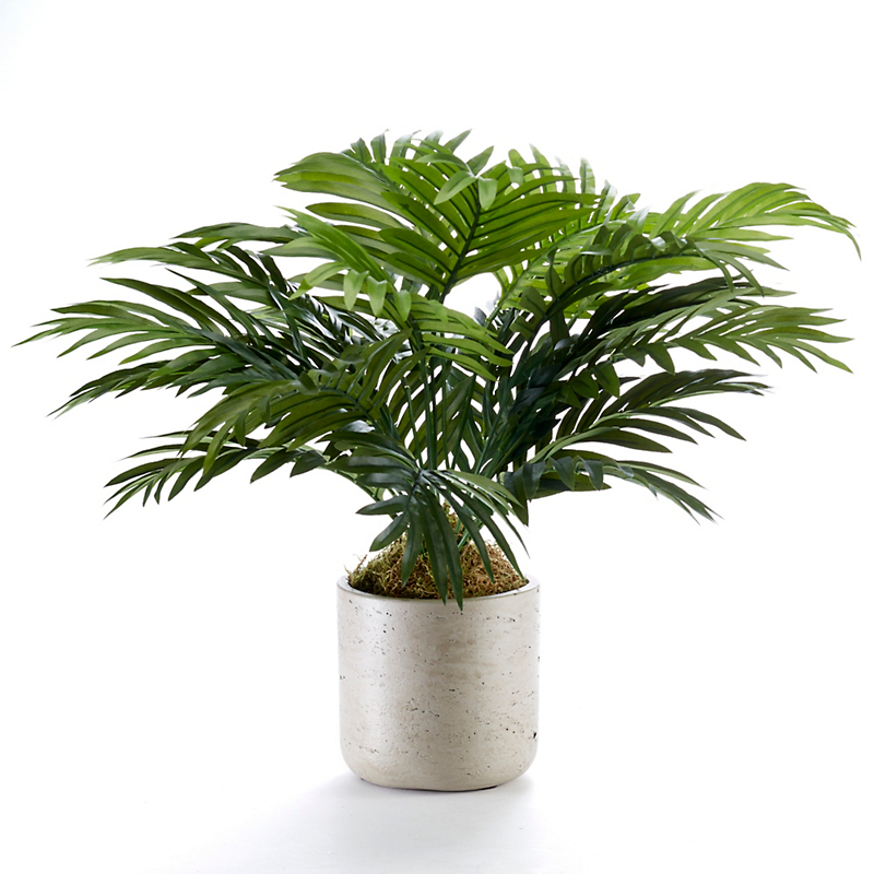 Broad-Leaf Palm