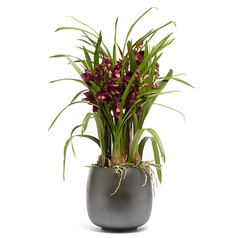 Grand Cymbidium Orchid, Burgundy