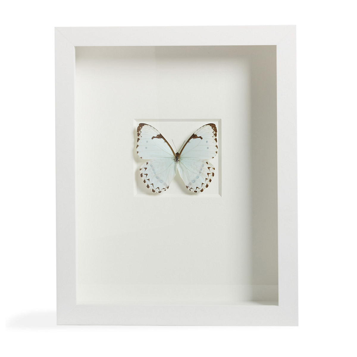 Christopher Marley White Morpho Catenarius