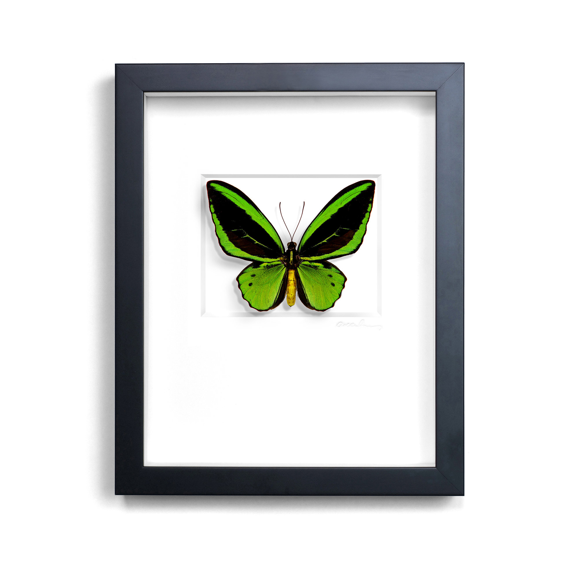Christopher Marley Green Cairns Birdwing
